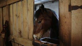 Το άλογο στέκεται στους σταύλους απόθεμα βίντεο