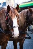 Το άλογο στο λουρί Στοκ Εικόνες