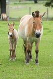 Το άλογο Przewalski, επίσης Takhi, το ασιατικό άγριο άλογο ή το μογγολικό άγριο άλογο αποκαλούμενο, είναι το μόνο υποείδος του άγ Στοκ Εικόνες