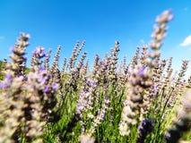 Το έδαφος lavender στο χωριό Kuyucak στην Τουρκία στοκ εικόνες