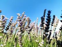 Το έδαφος lavender στο χωριό Kuyucak στην Τουρκία στοκ φωτογραφίες με δικαίωμα ελεύθερης χρήσης