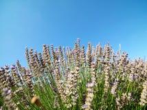 Το έδαφος lavender στο χωριό Kuyucak στην Τουρκία στοκ φωτογραφίες