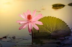 Το ένα ρόδινο λουλούδι Lotus Στοκ φωτογραφία με δικαίωμα ελεύθερης χρήσης