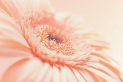 Το ένα χλωμιάζει - ρόδινο λουλούδι Gerbera Στοκ Εικόνα