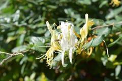 Το έντομο παίρνει το νέκταρ από τα μικρά άσπρα λουλούδια στοκ φωτογραφία με δικαίωμα ελεύθερης χρήσης