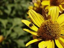 Το έντομο στην επάνθιση Στοκ φωτογραφία με δικαίωμα ελεύθερης χρήσης