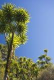 Το δέντρο λάχανων είναι ένα από τα πιό διακριτικά δέντρα στη Νέα Ζηλανδία Στοκ Φωτογραφία