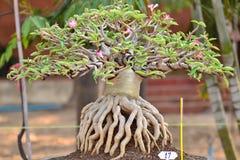 Δέντρο obesum Adenium Στοκ Εικόνες