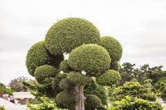 Το δέντρο είναι στο πάρκο Ταϊλάνδη Phuthamonthon Στοκ φωτογραφίες με δικαίωμα ελεύθερης χρήσης