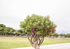 Το δέντρο είναι στο πάρκο Ταϊλάνδη Phuthamonthon Στοκ φωτογραφία με δικαίωμα ελεύθερης χρήσης
