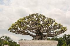 Το δέντρο είναι στο πάρκο Ταϊλάνδη Phuthamonthon Στοκ Εικόνα