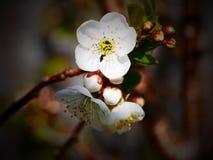 Το δέντρο κερασιών Στοκ Φωτογραφία