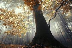 Το δέντρο με τα πορτοκαλιά φύλλα μέσα το μαγικό δάσος με την ομίχλη Στοκ Εικόνες