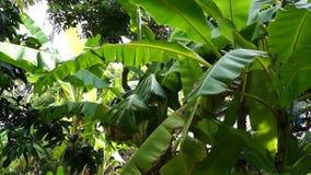 Το δέντρο μπανανών βγάζει φύλλα την ηλιόλουστη ημέρα αέρα κυματισμού απόθεμα βίντεο