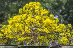 Το δέντρο μπονσάι βερίκοκων είναι ανθίζοντας την άνοιξη κήπος βερίκοκων Στοκ φωτογραφία με δικαίωμα ελεύθερης χρήσης
