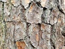 Το δέντρο πεύκων δύσκολο τοποθετεί το φλοιό σύστασης της βόρειας Καρολίνας στοκ εικόνα με δικαίωμα ελεύθερης χρήσης
