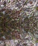 Το δέντρο πουλί-κερασιών ανθίζει ενάντια στο μπλε ουρανό με την αντανάκλαση νερού, φυσικό floral υπόβαθρο Στοκ Εικόνες