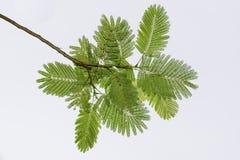 Το δέντρο πράσινο βγάζει φύλλα Στοκ εικόνες με δικαίωμα ελεύθερης χρήσης