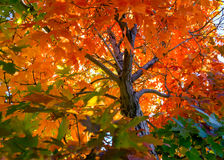 Το δέντρο πτώσης βγάζει φύλλα το υπόβαθρο Στοκ φωτογραφία με δικαίωμα ελεύθερης χρήσης