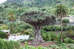 Το δέντρο δράκων Το δέντρο draco Dracaena είναι φυσικό σύμβολο του νησιού Tenerife Icon de Los Vinos, καναρίνι, Ισπανία Στοκ Εικόνες