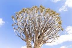 Το δέντρο ρίγου, ή aloe dichotoma, ή Kokerboom, στη Ναμίμπια Στοκ φωτογραφία με δικαίωμα ελεύθερης χρήσης