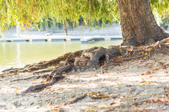 Το δέντρο ρίζας κινηματογραφήσεων σε πρώτο πλάνο στον ποταμό Στοκ εικόνες με δικαίωμα ελεύθερης χρήσης