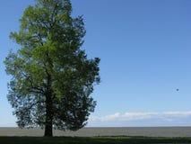 Το δέντρο στην ακτή του Κόλπου της Φινλανδίας Στοκ Εικόνες