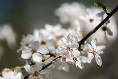 Το δέντρο της Apple ανθίζει την άνοιξη Στοκ Φωτογραφία