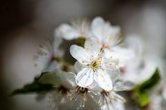Το δέντρο της Apple ανθίζει την άνοιξη Στοκ εικόνες με δικαίωμα ελεύθερης χρήσης