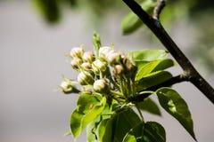 Το δέντρο της Apple ανθίζει την άνοιξη Στοκ Φωτογραφίες