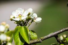 Το δέντρο της Apple ανθίζει την άνοιξη Στοκ Εικόνες