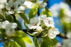 Το δέντρο της Apple ανθίζει την άνοιξη Στοκ φωτογραφία με δικαίωμα ελεύθερης χρήσης