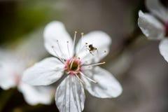 Το δέντρο της Apple ανθίζει την άνοιξη Στοκ Εικόνα