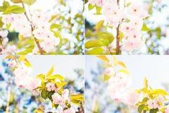 Το δέντρο της Apple είναι άνθος Στοκ Φωτογραφία