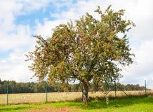 Δέντρο της Apple Στοκ εικόνες με δικαίωμα ελεύθερης χρήσης
