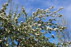 Το δέντρο της Apple διακλαδίζεται δέκα Στοκ φωτογραφία με δικαίωμα ελεύθερης χρήσης