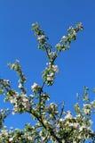 Το δέντρο της Apple διακλαδίζεται έξι Στοκ φωτογραφία με δικαίωμα ελεύθερης χρήσης