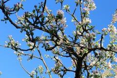 Το δέντρο της Apple διακλαδίζεται επτά Στοκ φωτογραφίες με δικαίωμα ελεύθερης χρήσης