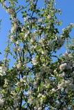 Το δέντρο της Apple διακλαδίζεται πέντε Στοκ φωτογραφία με δικαίωμα ελεύθερης χρήσης
