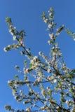 Το δέντρο της Apple διακλαδίζεται τέσσερα Στοκ Φωτογραφία