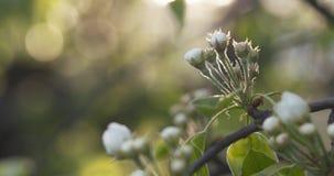Το δέντρο της Apple διακλαδίζεται την άνοιξη φως του ήλιου Στοκ φωτογραφία με δικαίωμα ελεύθερης χρήσης
