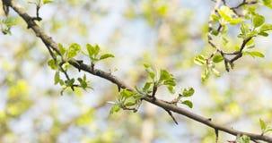 Το δέντρο της Apple διακλαδίζεται την άνοιξη φως του ήλιου Στοκ εικόνες με δικαίωμα ελεύθερης χρήσης