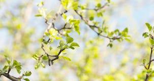 Το δέντρο της Apple διακλαδίζεται την άνοιξη φως του ήλιου Στοκ Εικόνα
