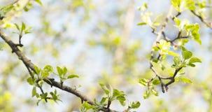 Το δέντρο της Apple διακλαδίζεται την άνοιξη φως του ήλιου Στοκ Φωτογραφία