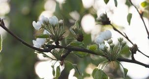 Το δέντρο της Apple διακλαδίζεται την άνοιξη φως του ήλιου Στοκ Εικόνες