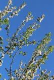 Το δέντρο της Apple διακλαδίζεται δύο Στοκ Εικόνες