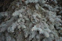 Το δέντρο του FIR αυξάνεται στις δασικές μπλε ερυθρελάτες Στοκ Εικόνες