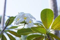 Το δέντρο του plumeria έχει ανθίσει στην Ταϊλάνδη Στοκ Φωτογραφία