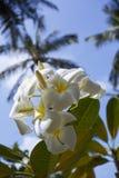 το δέντρο του plumeria έχει ανθίσει στους τροπικούς κύκλους Στοκ φωτογραφία με δικαίωμα ελεύθερης χρήσης