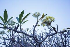 το δέντρο του plumeria έχει ανθίσει στους τροπικούς κύκλους Στοκ Εικόνες